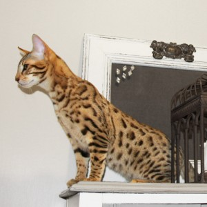savannah cat - f5
