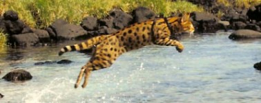 savannah cat - select exotics