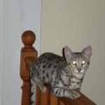savannah cat color patterns