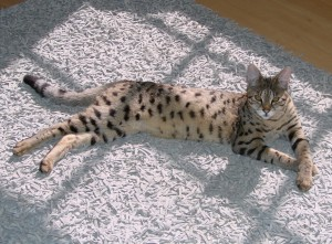 F2 Savannah Cat Breed Information at Select Exotics