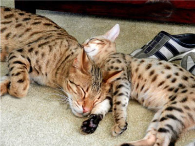 Savannah Cat F8