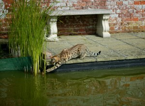 F3 Savannah Cat Breed Information by Select Exotics