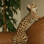 color patterns of the savannah cat