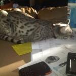 color pattern - lavendar - savannah cats