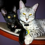 savannah cat color patterns - black