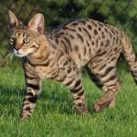 savannah cat - neutral gold color pattern