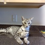 color patterns of the savannah cat - silver