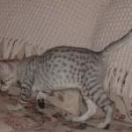 Savannah cat color patterns - silver
