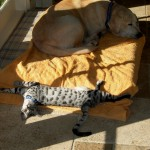 silver savannah cat color pattern