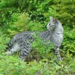 silver savannah cat - color pattern