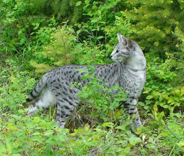 Savannah Cat Color Patterns Select Exotics