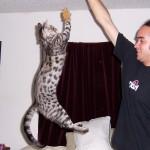 savannah cat - silver