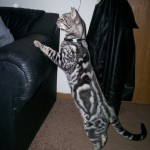Savannah cat color patterns - silver marble