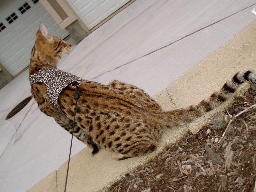 Savannah Cat Color Patterns Select Exotics