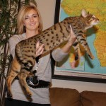 warm gold savannah cat color pattern