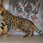 savannah cat color patterns - warm gold