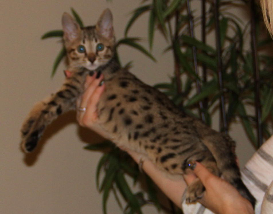 biggest domesticated cat breed