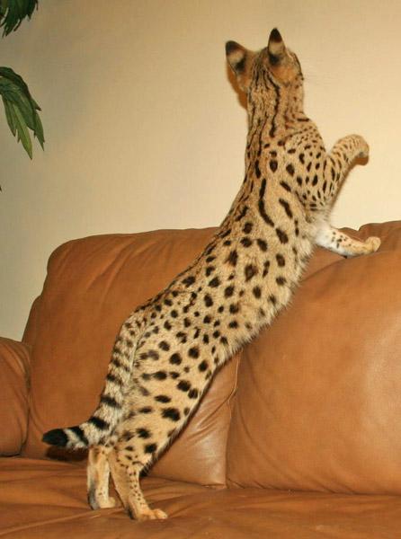 F1 Savannah Cat F1 Queens Select Exotics