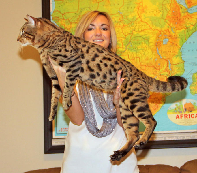 savannah studs exotic cats for sale select exotics. Black Bedroom Furniture Sets. Home Design Ideas