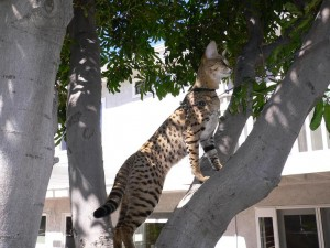 Savannah Cat Breed at Select Exotics
