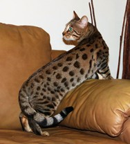 exotic savannah cats for sale