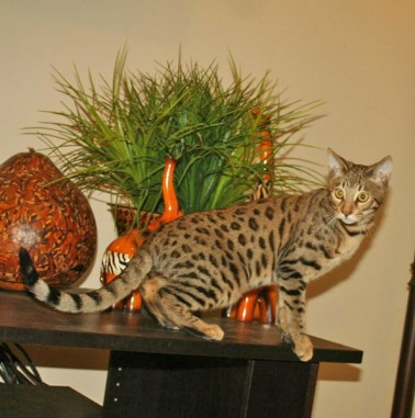 F3 Savannah Cat