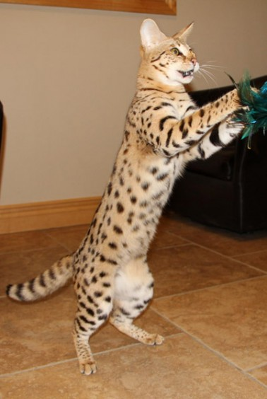 F1 Savannah Cat Breed