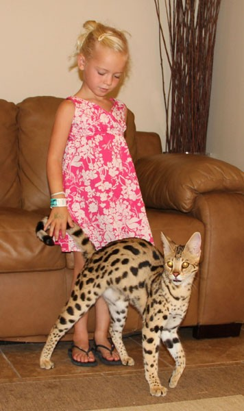 F1 Queens Savannah Cat Breed