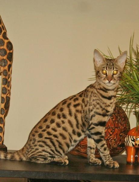 F2 Savannah Cat