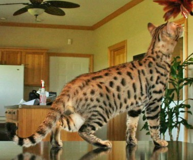exotic cats for sale by select exotics