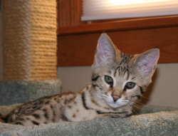 meet camber - savannah cat breed