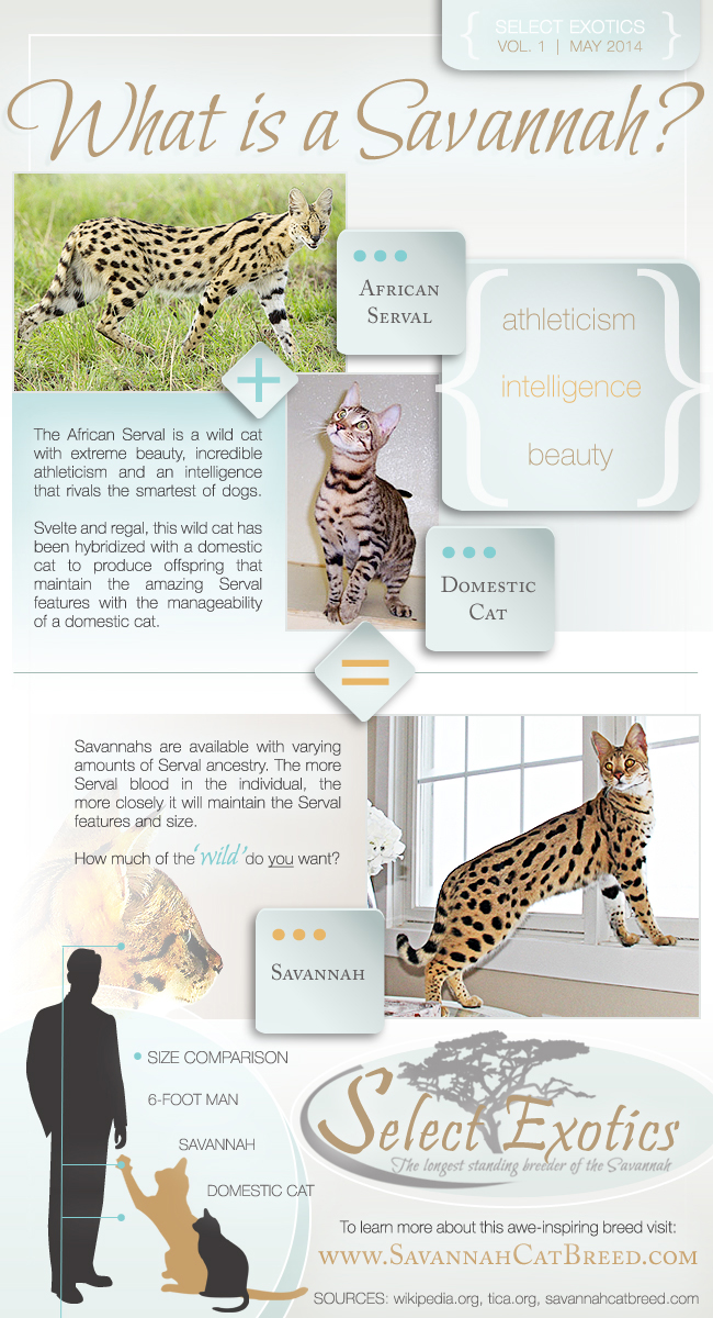 what is a savannah cat?