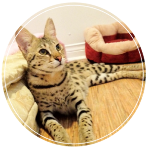 only high quality savannah cats