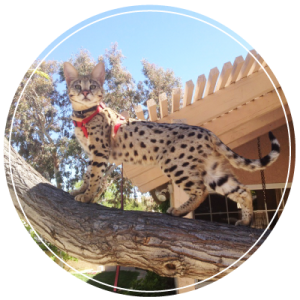 select exotics - the best savannah cat breeder