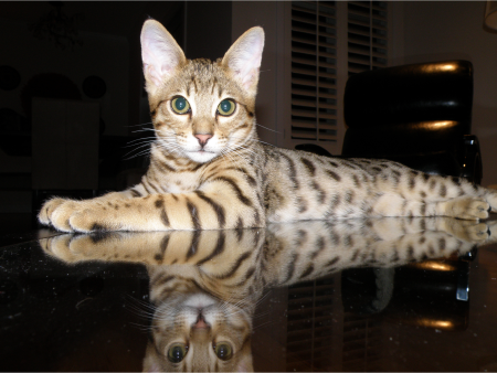 buy a savannah cat - meet Che