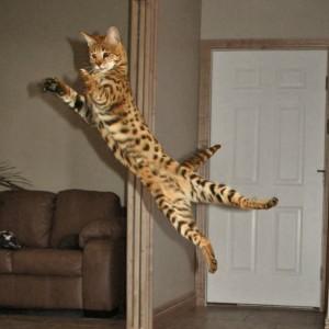 savannah cat kittens for sale select exotics. Black Bedroom Furniture Sets. Home Design Ideas