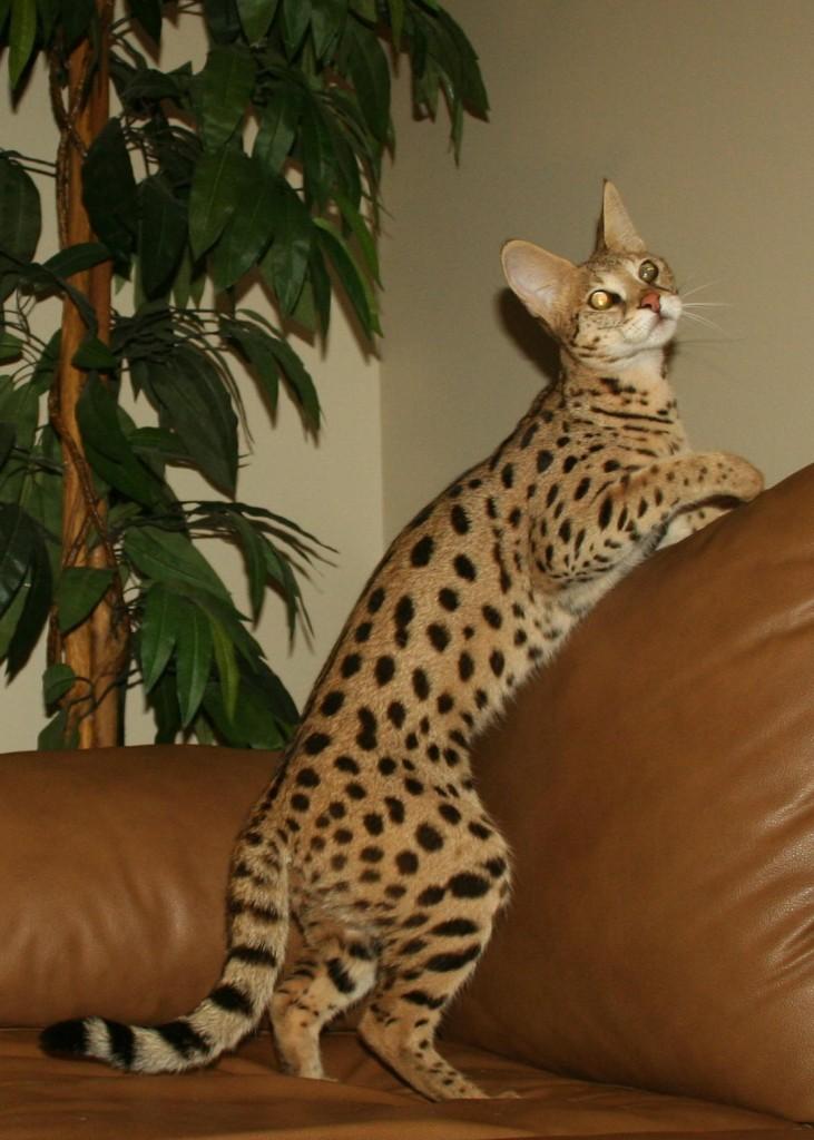 color patterns savannah cat select exotics. Black Bedroom Furniture Sets. Home Design Ideas