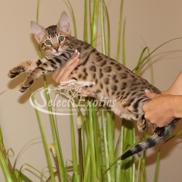 F5 Savannah Kitten for Sale Priss1