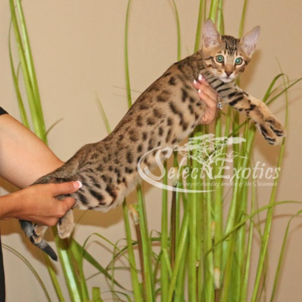 F5 Savannah Kitten for Sale Priss1-1