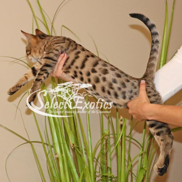F5 Savannah Kitten for Sale Priss2