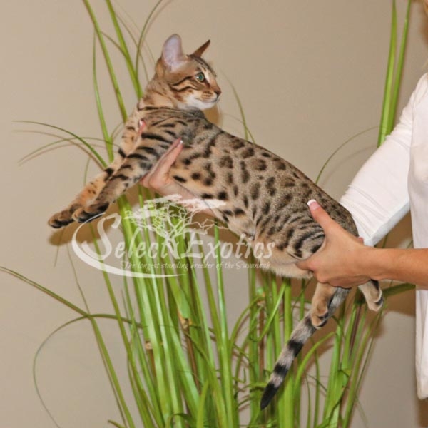 F5 Savannah Kitten for Sale Priss3