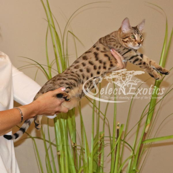 Savannah Kitten for Sale Priss4-4
