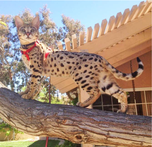 buying a savannah cat -- meet Riley
