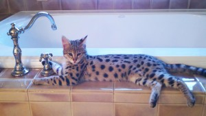 Bringing a Savannah kitten home by Select Exotics