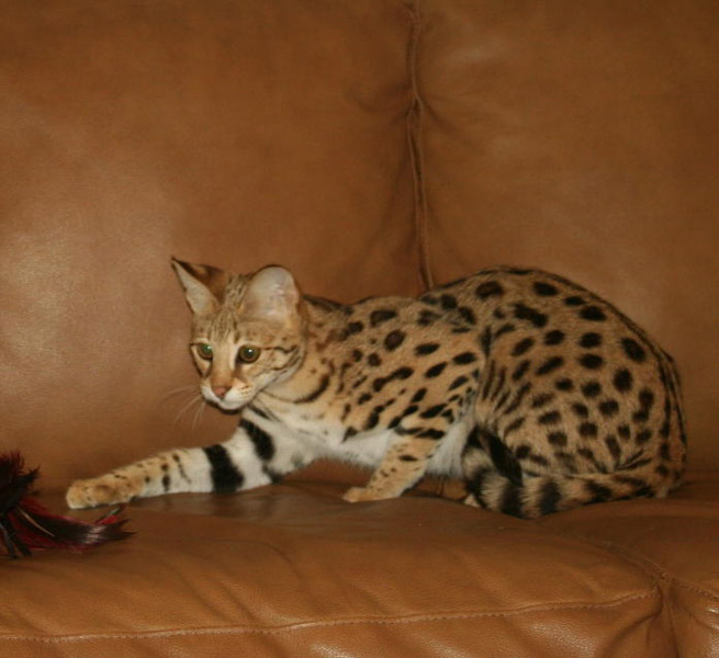 F1 Savannah Cat F1 Queens Select Exotics