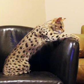F2 Savannah Cat - Select exotics