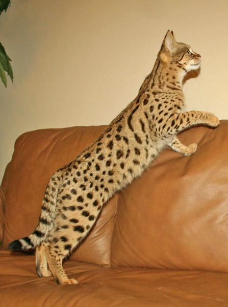F1 Serval Queen Savannah Cat Breed