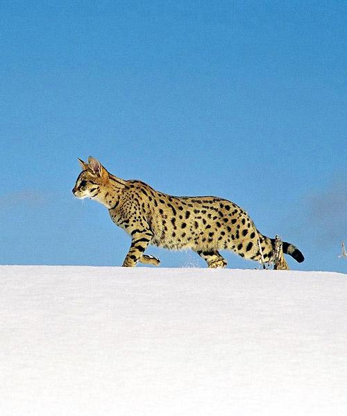 Are savannah cats trainable