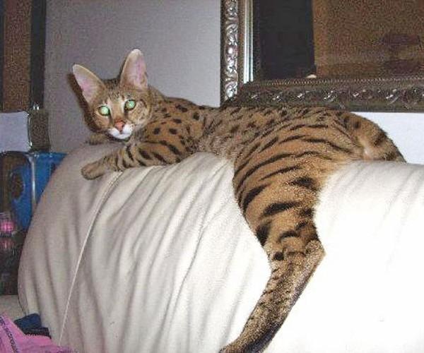 Client Brag Page | Select Exotics - Savannah Cats
