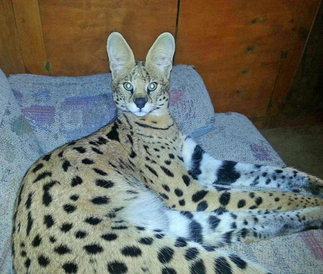Serval Savannah Cat Studs Savannah Cat Breed